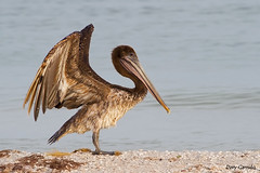 Brown Pelican, Yucatan, Mxico. (Davy Garrido) Tags: pelecanusoccidentalis pelcanocaf pelcano pelecanus brownpelican yucatan mxico canon 400mm pjaro bird