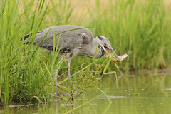 Grey Heron, Serbia (Paul Miguel) Tags: greyheron serbia photographyholiday course trip photohides nature wildlife wild summer may 2017 water feeding fish pool bird