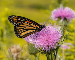 Danaus plexippus (monarch butterfly) on Cirsium discolor (field thistle) (tgpotterfield) Tags: longwood danausplexippus danaus danainae lepidoptera insects monarchbutterfly cirsiumdiscolor cirsium carduoideae asteraceae fieldthistle kennettsquare pennsylvania usa