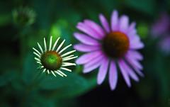 RUS50048(One less but closer. Echinacea) (rusTsky) Tags: blossom garden nature fine green summer цветок цветы цветущий сад лето echinacea canon bokeh macro fantasticflower
