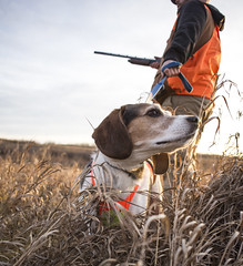 This Way (Shane Sadoway) Tags: dog beagle puppy animal creature canine gun shotgun rifle hunt hunting straw hay field outdoors orange safety vest