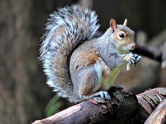 Grey squirrel (PhotoLoonie) Tags: greysquirrel squirrel ukanimal animal britishwildanimal wildanimal britishwildlife ukwildlife wildlife