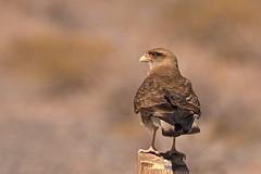 Beobachtungspfosten (Geonaut) Tags: argentinien2016 rp33 salta argentinien ar chimango falkenartig falke greifvogel