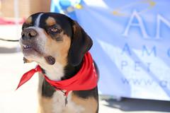 dudleywalker-5996 (angelsrescue) Tags: aau pets angels among us pet rescue alpharetta ga dog love