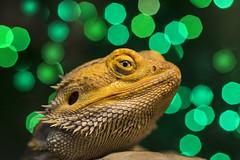 Week 48: Bokeh (shannon_blueswf) Tags: bokeh beardeddragon green lights blur christmaslights dragon lizard flower photochallenge photochallenge2016