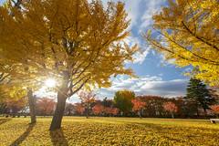 , Japan _IMG_0423 (Len) Tags:      japan yamagata  6d 1635lii ef1635mmf28liiusm tohoku  ginkgo   plant landscape    yamagatashi yamagataken
