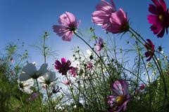 Flowers (nak.viognier) Tags: flowers ryokuchipark osaka  olympusepl3 lumixgfisheye8mmf35