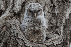 Barred Owl (owlet 3 of 3) (Jeremy Meyer) Tags: barredowl barred owl owlet bird