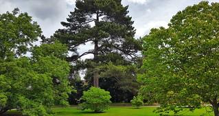 Corsican Black Pine...