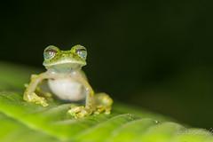 Glass frog (Guldenfels-photos) Tags: frog ecuador equateur serpent lezard lizard grenouille verte green yellow nikon d800 macro tropical blue i am