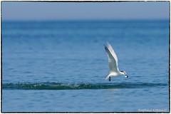 Sandwich Tern gets its target (RKop) Tags: a77mk2 70400gssmsony caladesiislandstatepark florida raphaelkopanphotography handheld sony wildlife