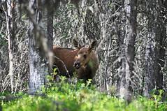 Baby moose hiding in the woods (Giulia La Torre) Tags: denali denalinationalpark nationalpark park national alaska ak unitedstatesofamerica usa unitedstates america nature wildlife wilderness wildness natura parconazionale selvaggio moose alce north wild intothewild
