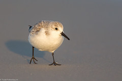 BJ8A0484-Sanderling (tfells) Tags: shorebird sandpiper bird nature sanderling beach nj new jersey holgate