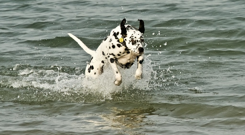 Dalmation - West Wittering