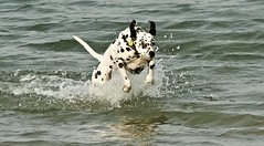 Dalmation - West Wittering (Ratsiola) Tags: water dogs dalmations amusing dog movement running animals domesticpets nikkor faithful sea pets beach