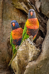 Two for the price of one  DSC_1610 (BlueberryAsh) Tags: lorikeet woodlandspark australianbird parrots woodlandshistoricpark greenvale rainbowlorikeet nikond750 tamron150600