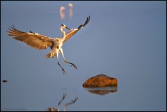 Grey Heron (Ardea cinerea).... Sequence Shot 2 of 4 (mihir_dhandha) Tags: greyheron ardeacinerea birdinflight birdphotography canoneos7d canonkitlens canon55250