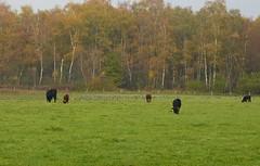 Heck cattle and geese (joeke pieters) Tags: 1310207 panasonicdmcfz150 heckrunderen heckrinder heckcattle burlovardingholtervenn deutschland duitsland germany landschap landscape landschaft paysage