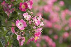 Roses (WilliamND4) Tags: roses nikond750 bokeh bokehwednesday pink flowers