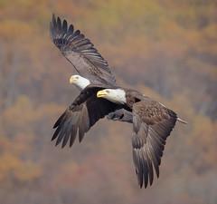 Eagle Pair Bonding Flight (tresed47) Tags: 2016 201611nov 20161114conowingoeagles birds canon7d conowingo content eagle flightshot folder general maryland peterscamera petersphotos places takenby us ngc npc
