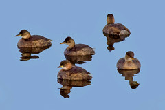 Dabchick aka LittelGrebe ( tachybaptus ruficollis ) - A raft of dabchick ! (Mid Glam Sam1) Tags: littlegrebe dabchick wales raft flock morning waterbirds grebe