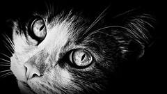 cat's eyes (khrawlings) Tags: russia cat eyes feline face bw blackandwhite monochrome nose whiskers urals loweye contrast portrait