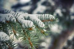 So It Begins (flashfix) Tags: november212016 2016 2016inphotos nikond7000 nikon ottawa ontario canada 40mm winter snow green bokeh macro 2minutemacro nature mothernature lines tree