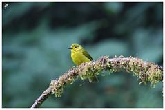 Yellow Browed Bulbul (girish.vignesh) Tags: birds yellow browed bulbul yellowbrowedbulbul bird canon600d canon canon100400mm westernghats dandeli ganeshgudi ohm jlr perch nature eyes
