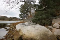 DSC07475 (Putneypics) Tags: coast shore rocky glacial boulder capecod newengland quissett falmouth massachusetts putneypics redcedar whiteoak autumn november