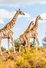 La grande marche. (Nona P.) Tags: safari afriquedusud wildlife girafe éléphant sauvage brousse animal canon photography nonap