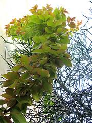 "Orapronobis e cactacea (Pereskia aculeata ""godseffiana"") (Valter Frana) Tags: pereskiaaculeatagodseffiana orapronobis cactcea cerrado ornamental alimento trepadeira"