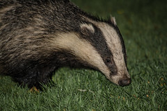 Pottering around (davidrhall1234) Tags: badger mammal wildlife world wildlifetrust woodland nature nikon nikond7100 rspb endangered pembrokeshire portrait