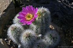 IMG_6149a copy (l.e.violett) Tags: nature flora cacti cultivated flowering echinocereus reichenbachii albispina
