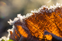 Frosty morning (Infomastern) Tags: cold frost kallt macro makro natur nature exif:model=canoneos760d exif:aperture=ƒ45 geocountry camera:make=canon exif:isospeed=100 camera:model=canoneos760d exif:lens=ef100mmf28lmacroisusm exif:focallength=100mm geostate geocity geolocation exif:make=canon