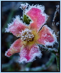 "Icy Rose • <a style=""font-size:0.8em;"" href=""http://www.flickr.com/photos/94572342@N03/31353584151/"" target=""_blank"">View on Flickr</a>"