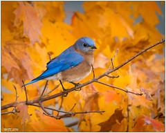 Eastern Bluebird (male) DSC_4810 (blindhogmike) Tags: ninety six national historic site south carolina sc