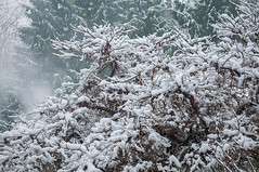 Snow on Japanese Maple, Surrey, BC (ScarletBlack) Tags: snow japanesemaple winter branches