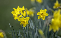 Daffodils (gardengeorgie) Tags: farnham surrey squirrel path church