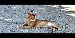 Ciao Gatto! (STEVE BEST ONE) Tags: gatto cat gatti cats animali animals exploration colori colors hdr viaggi travel rodi rhodes grecia greece nikon nikonofficial nikonitalia d90 2013