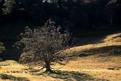 Rock Valley fig (dustaway) Tags: morning plants nature landscape shadows australia ficus pasture nsw treebark sunlit australianlandscape lonetree moraceae northernrivers australiantrees morninglandscape
