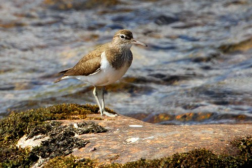 Sandpiper Common Scotland 8.6.2013 (1)