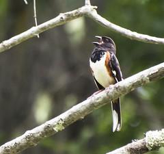 Rufous-sided Towhee  in full song. (Carolyn Lehrke) Tags: nature birds woods singing wildlife towhee rufoussidedtowhee
