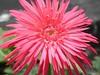 macro (flower image) (ariel gitana) Tags: pink flower macro colors landscape zoom philippines telephoto digitalcamera pollen pinoy pollenation pinas flowerportrait bridgecamera sanpedrolaguna kodakero nikonp100 teampinoy