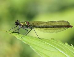 Banded demoiselle (Lutra56) Tags: nature damselfly odonata bandeddemoiselle calopteryxsplendens