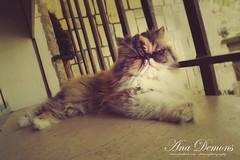 Aaru, Tera para los amigos (Lysannah) Tags: summer cats hot window cat ventana persian tabby kitty gatos exotic gato verano gata gatita calor gatito laying persa tumbada