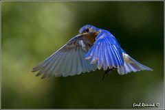 """Eastern Bluebird (130710-1507) (Earl Reinink) Tags: blue ontario bird nature birds photography earl bluebird peninsula """"bird """"eastern """"niagara photography"""" """"nature """"earl flight"""" reinink"""""""