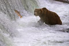 The One That Got Away (pdxsafariguy) Tags: ursusarctos bear brownbear alaska katmainationalpark brooksfalls salmon fish spawning river waterfall wildlife sockeye tomschwabel