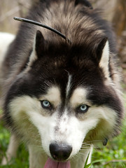 """Zarro Is Flashing His Baby Blues • <a style=""""font-size:0.8em;"""" href=""""http://www.flickr.com/photos/96196263@N07/9351313617/"""" target=""""_blank"""">View on Flickr</a>"""