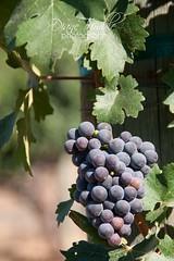 bloomin' grapes (Diane Trimble --- dianemariet) Tags: vineyards grapes temecula rlb grapevines winegrapes californiavineyards purplegrapes temeculacalifornia californiagrapes ripegrapes wilsonscreekwinery caiforniawineries