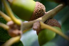 Oak Acorns (TooSour) Tags: macro tree closeup 50mm leaf oak acorn bud yashinon
